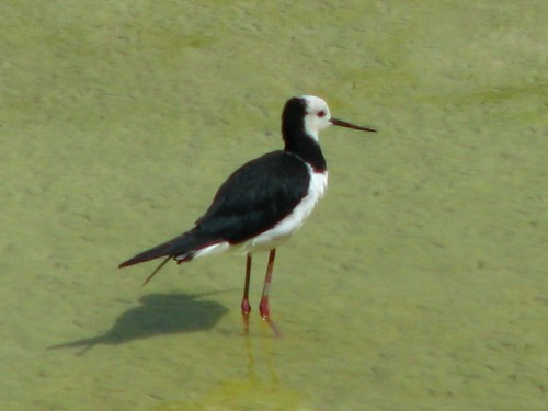 Pied Stilt or Poaka in the Maori language