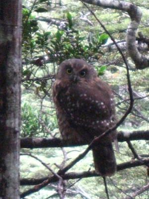 Ruru, Brown Spotted Owl Native to New Zealand