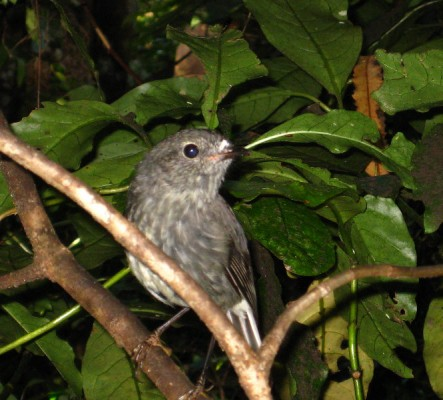 Riroriro, the grey warbler, or rifleman
