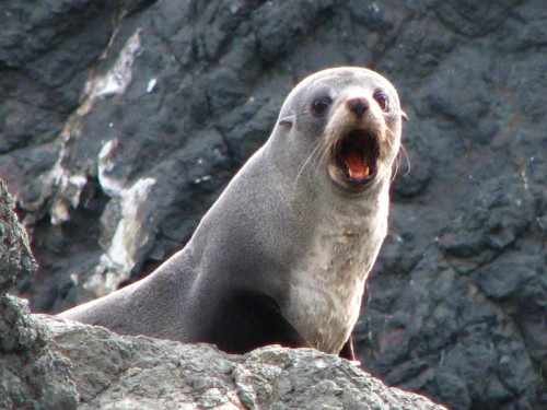 Kekeno or New Zealand fur seal barking