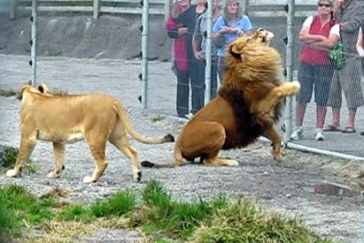 Lion catching food!