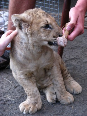 Playing and peting lion cub at Paradise Valley Springs.