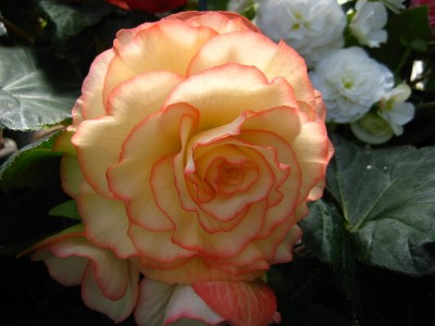 This yellow and pink flower looks like a rose, but I think it is a begonia