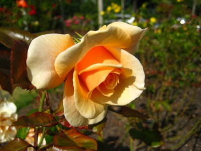 Peach Rose at the Parnell Rose Garden