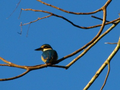 Collared Kingfisher Halcyon chloris, small blue bird with white chest and golden eyebrows